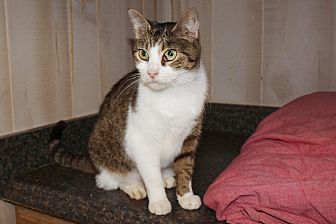 Domestic Shorthair Cat for adoption in Jackson, Mississippi - Caroline
