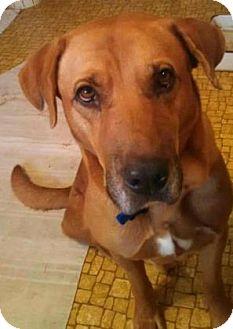 Labrador Retriever/Rhodesian Ridgeback Mix Dog for adoption in Bulverde, Texas - Henry