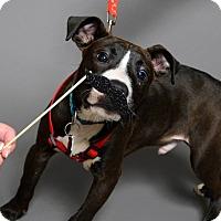 Adopt A Pet :: Blake Shelton - Southampton, PA