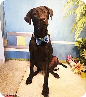 Great Dane Mix Dog for adoption in Castro Valley, California - David