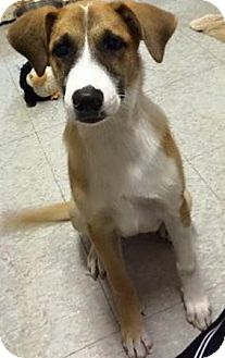 Shepherd (Unknown Type) Mix Puppy for adoption in Everman, Texas - Camille