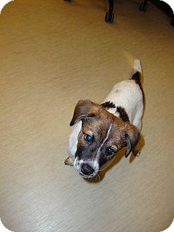Jack Russell Terrier/Dachshund Mix Puppy for adoption in Aiken, South Carolina - Lauren