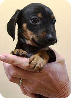 Dachshund Puppy for adoption in Oswego, Illinois - I'M ADPTD Hot Dogs Camden Mild