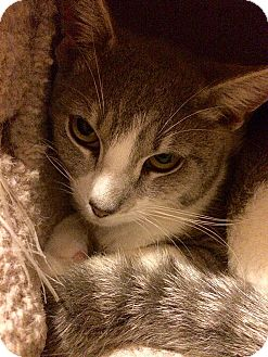 Domestic Shorthair Kitten for adoption in Tampa, Florida - Apple