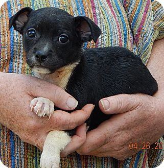 Boston Terrier/Chihuahua Mix Puppy for adoption in Burlington, Vermont - Gere (3 lb)