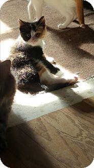 Calico Kitten for adoption in Battle Creek, Michigan - CoCo