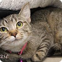 Domestic Shorthair Cat for adoption in Bradenton, Florida - Chase