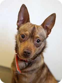 Chihuahua Mix Dog for adoption in Berkeley, California - Leo