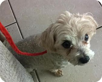 Maltese Dog for adoption in Las Vegas, Nevada - Abby