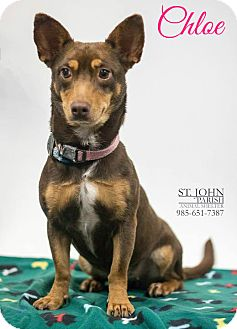 Chihuahua/Dachshund Mix Dog for adoption in Laplace, Louisiana - Chloe