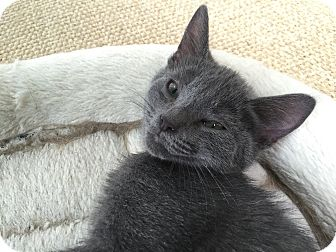 Domestic Mediumhair Kitten for adoption in Richmond, Virginia - Izzy