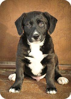 Border Collie/Labrador Retriever Mix Puppy for adoption in Colmar, Pennsylvania - Scotty