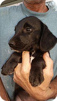 Beagle/Labrador Retriever Mix Puppy for adoption in Chiefland, Florida - Wilbur