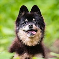 Pomeranian Dog for adoption in El Cajon, California - Tadpole
