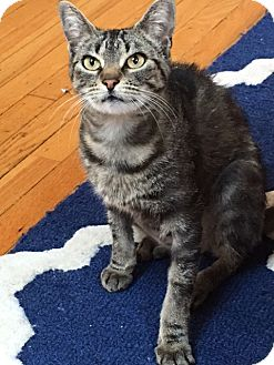 Domestic Shorthair Cat for adoption in Cherry Hill, New Jersey - Pearl