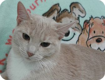 Domestic Shorthair Cat for adoption in Highland Park, New Jersey - Bossy Buffy