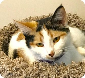 Calico Cat for adoption in Greensburg, Pennsylvania - Briisa