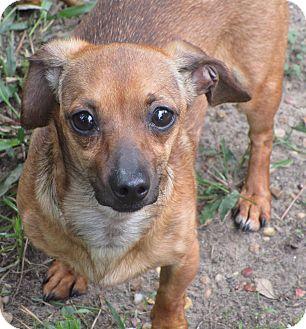 Dachshund Mix Dog for adoption in Portland, Oregon - A - GINGER