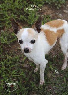Chihuahua Mix Dog for adoption in Shohola, Pennsylvania - Leon