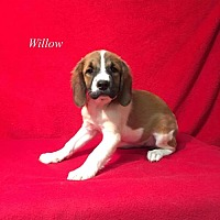 Adopt A Pet :: Willow - Chester, IL