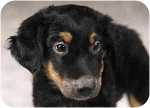 Collie/Australian Shepherd Mix Puppy for adoption in Chicago, Illinois - Leo(ADOPTED!)