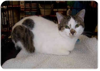 Domestic Shorthair Cat for adoption in Brighton, Michigan - Pudge
