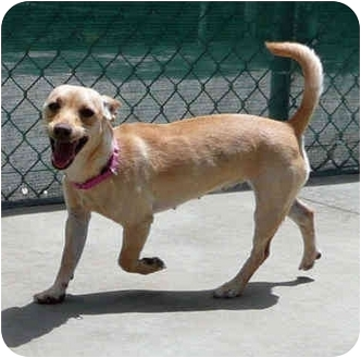 Chihuahua Mix Dog for adoption in San Clemente, California - DINA
