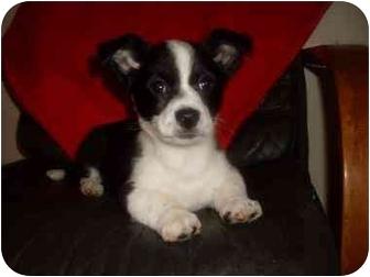 Boston Terrier Mix Puppy for adoption in Foster, Rhode Island - Bear