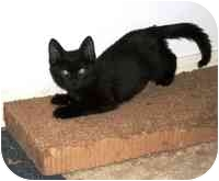 Domestic Shorthair Kitten for adoption in Tampa, Florida - Lilly
