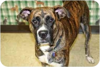Boxer Mix Dog for adoption in Racine, Wisconsin - Justin