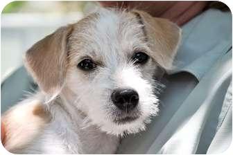 harry adopted puppy 138 wimberley tx fox terrier