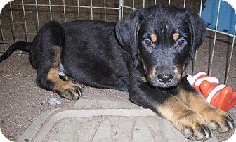 Shepherd (Unknown Type)/Border Collie Mix Puppy for adoption in Richmond, Virginia - Rex