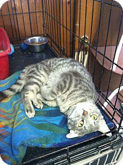 Domestic Shorthair Cat for adoption in Hamburg, New York - Celia