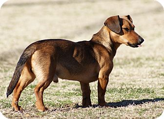 Dachshund/Rat Terrier Mix Puppy for adoption in Glenpool, Oklahoma - Toby