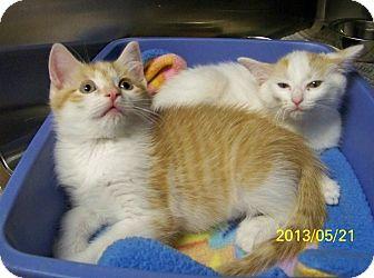 Domestic Shorthair Kitten for adoption in Dover, Ohio - Harley