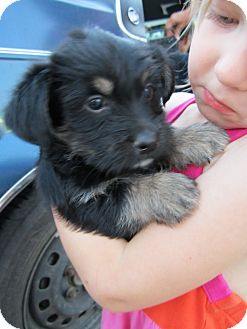 Yorkie, Yorkshire Terrier/Poodle (Miniature) Mix Puppy for adoption in Glastonbury, Connecticut - Gila-ADOPTED!!