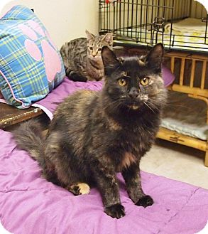 Domestic Mediumhair Kitten for adoption in Ocean City, New Jersey - Maizee
