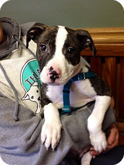 Pit Bull Terrier Mix Puppy for adoption in Newtown, Connecticut - Paulie