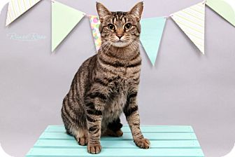 Domestic Shorthair Cat for adoption in Sterling Heights, Michigan - Chauncy-ADOPTED
