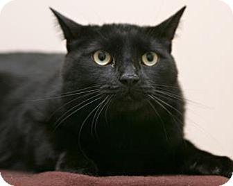 Domestic Shorthair Cat for adoption in Bellingham, Washington - Jingles
