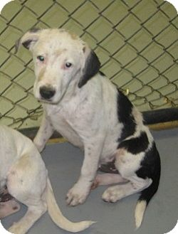 Great Dane/Australian Cattle Dog Mix Puppy for adoption in Stillwater, Oklahoma - Phelps