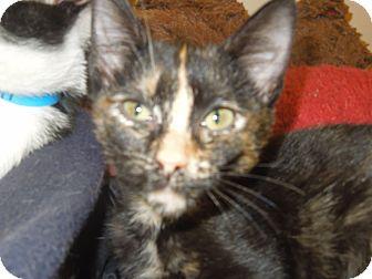 Domestic Shorthair Kitten for adoption in Medina, Ohio - Natalie