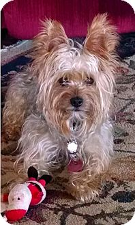 Yorkie, Yorkshire Terrier/Silky Terrier Mix Dog for adoption in Wooster, Ohio - Teddy