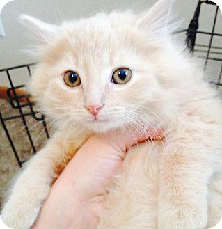 Domestic Mediumhair Kitten for adoption in Orland Park, Illinois - Tink