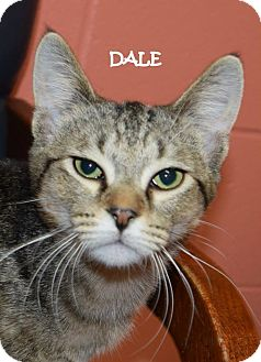 Domestic Shorthair Cat for adoption in Lapeer, Michigan - DALE--SWEET TIGER BOY!