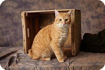 Domestic Shorthair Cat for adoption in Staunton, Virginia - Dorito
