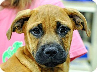 Shepherd (Unknown Type) Mix Puppy for adoption in Gainesville, Florida - Addison