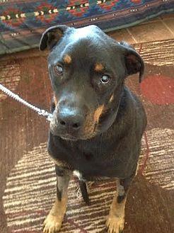 Rottweiler Dog for adoption in tucson, Arizona - Kelpie