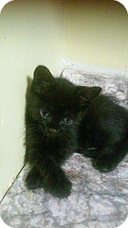 Domestic Shorthair Kitten for adoption in Bronx, New York - Harley