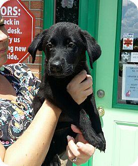 German Shepherd Dog/Hound (Unknown Type) Mix Puppy for adoption in Baltimore, Maryland - Raisin